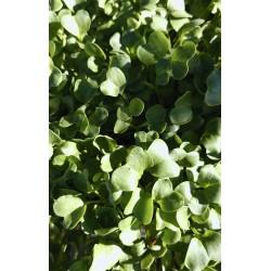 Radish - Green Daikon