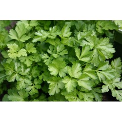 Parsley - Continental,...