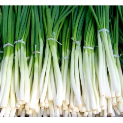 ONION, NEBUKA - BUNCHING...