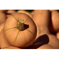 PUMPKIN - BUTTERNUT, LARGE