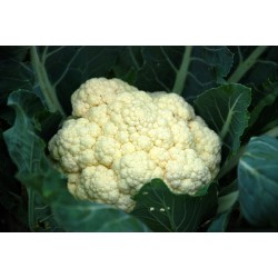 CAULIFLOWER-SNOWBALL...