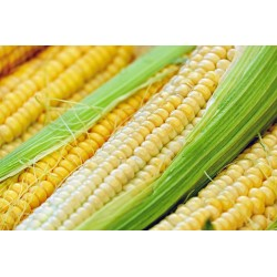 CORN - SWEETCORN - SUNGOLD