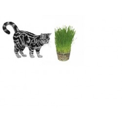 Dactylis glomerata - Cat grass