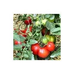 TOMATO-BUSH-OLOMOVIC