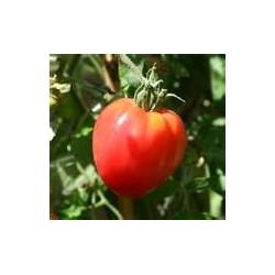 TOMATO - OXHEART RED, VINE