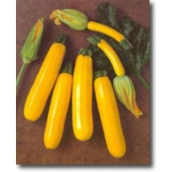 SUNGOLD hybrid - yellow zucchini