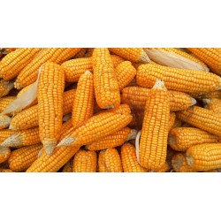 Corn SWEETCORN - TRUEGOLD