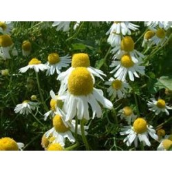 CAMOMILE - GERMAN -...