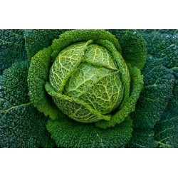 CABBAGE- GREEN VERTUS...