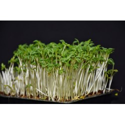 CRESS SEEDS FOR SPROUTING