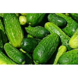 CUCUMBER - BUSH PICKLES