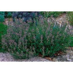 THYME - Thymus vulgaris  specimen in garden