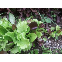 LETTUCE - LOOSELEAF MIX -...