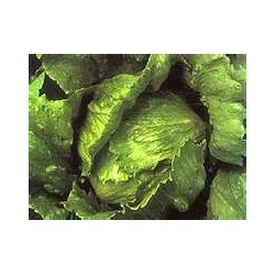 LETTUCE - ALL YEAR ROUND