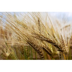 TRITICALE SEEDS FOR...