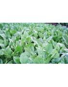 Broccoli Vegetable Seed