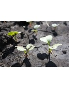 Daikon seed for sprouting