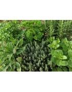 Garden herb seed